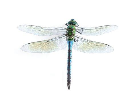 Anax imperator (female) Blue Emperor