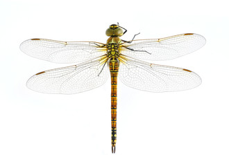 Dragonfly Aeshna affinis (female)