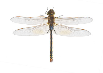 Dragonfly Anax ephippiger
