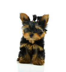 Funny puppy of the Yorkshire Terrier sits on white background