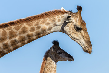 Giraffe Calf Mother Affections Wildlife