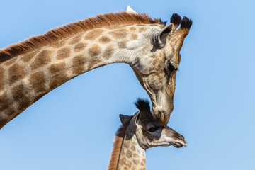 Giraffe Mother Calf Affections Wildlife Animals