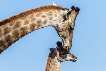 Giraffe Mother Calf Affections Wildlife Animals