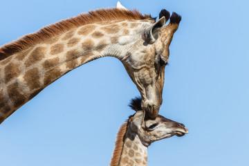 Giraffe Mother Affections Calf Wildlife Animals