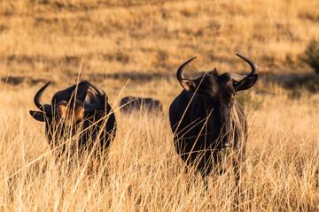 Blue Wildebeest Wildlife Animals