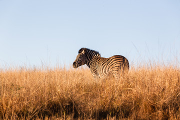 Zebra Alone Wildlife Terrain