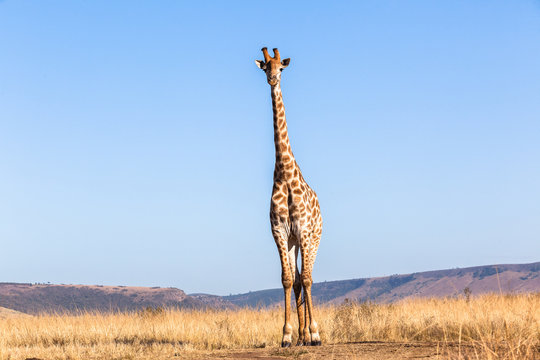 Giraffe Blue Sky Portrait Wildlife