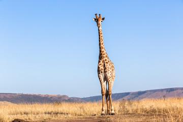 Giraffe Blue Portrait Wildlife Animal