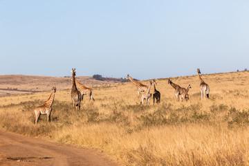 Giraffes Wildlife Animals Terrain