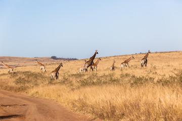 Giraffes Landscape Wildlife Animals