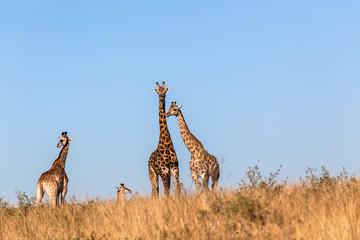 Giraffes Calf Protect Wildlife Animals