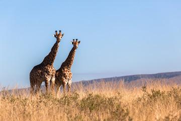 Giraffes Wildlife Animals