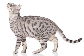 Bengalkatze seitlich stehend