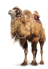 Tuinposter Kameel Bactrian camel on white background