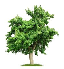 100 jähriger Birnbaum mit Fruchtansatz