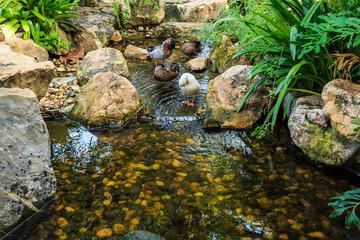 garden pond with ducks