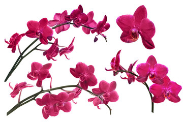 dark red orchid flowers collection isolated on white