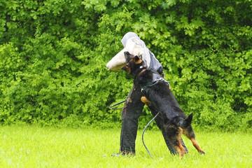 helper and angry brown german shepherd dog in defense