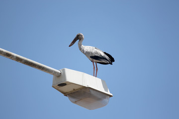big stork standing on top electricity post.