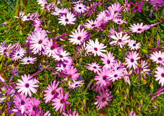 Beautiful flowers plant in Poros island in Greece