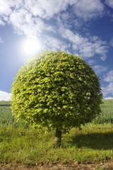 Gemeine Hasel – Baum mit Blättern