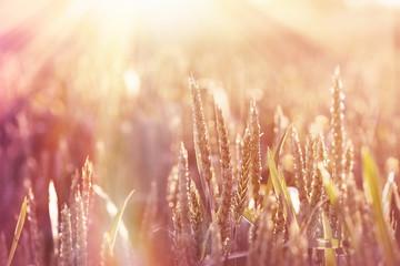 Wheat field lit by sunlight