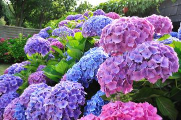 Fleurs d'hortensias bleues et roses