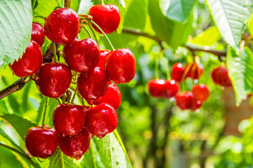 Cherry  berries on a tree branch with water drops