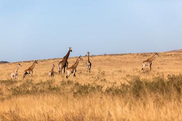 Giraffes Grasslands Landscape Wildlife Animals