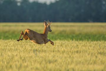 Chevreuil qui saute dans les champs