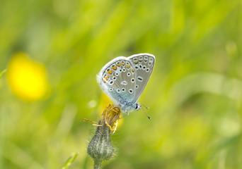 Бабочка голубянка (Lycaenidae )