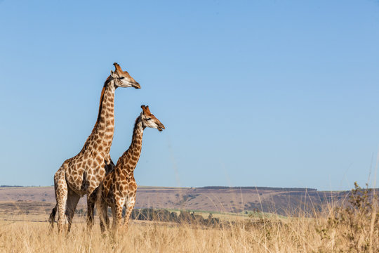 Giraffes Two Affections Together Blue Sky Wildlife
