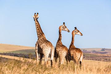 Three Giraffes Blue Sky Wildlife Animals