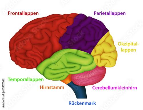 Blutversorgung des Gehirns, Anatomie Gehirn\