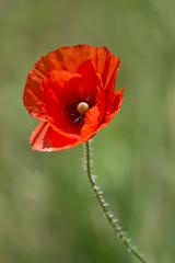 Foto op Plexiglas Klaprozen Poppy flower