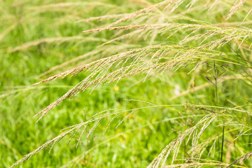 Close up of reeds field background.