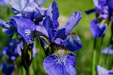 blue iris, violet, garden