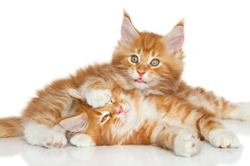 Wall Mural - Maine Coon kittens playing