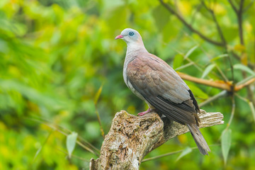 Mountain Imperial Pigeon(Ducula badia (Raffles, 1822)) in nature
