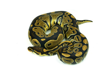 Royal Python, or Ball Python in studio against a white backgroun