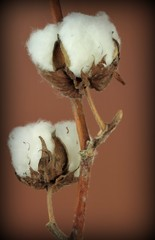 Cotton plant on brown background