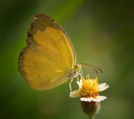 yellow Butterfly on  flower in the garden