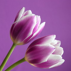 Tulip flowers : Valentines / Mothers Day or Easter card