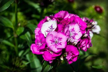 Chinese macro carnation beautiful flowers