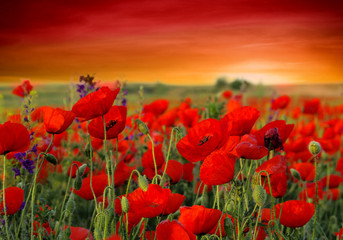 Wall Mural - Field of poppies on a sunset
