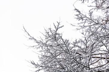 Hoarfrost on Birch branches