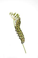 Green caterpillar on white background