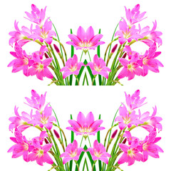 Wall Mural - Zephyranthes Lily