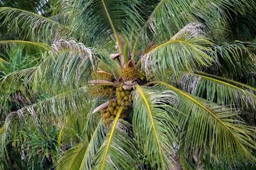 Palme mit Kokosnüssen