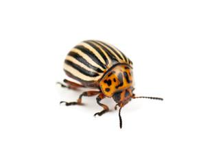 colorado bug